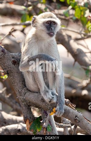 Adult Vervet monkey ( Chlorocebus pygerythrus ), Chobe National park, Botswana Africa - Stock Photo