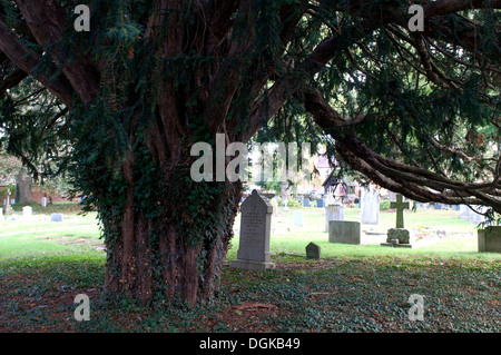 Yew tree in St. James churchyard, Badsey, Vale of Evesham, Worcestershire, UK - Stock Photo