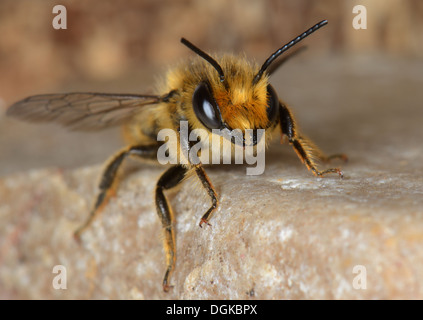 Close up of a bee on a stone,Essex,UK - Stock Photo