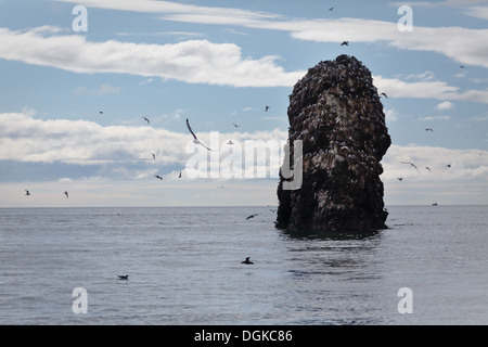 Hundreds of Seagulls, flying, floating in the water, and roosting on a large rock out in the ocean in summer. - Stock Photo