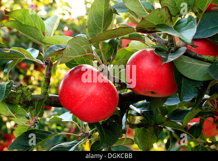 Apple 'Discovery', malus domestica, apples, named variety varieties growing on tree - Stock Photo