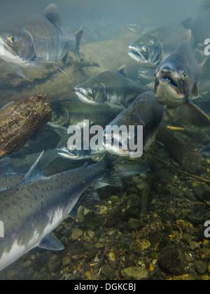 Closeup underwater view of a school of sockeye salmon spawning in the Kenai River Alaska heads facing photographer - Stock Photo