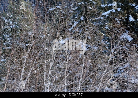Birch trees with a fresh dusting of snow Greater Sudbury Ontario Canada - Stock Photo