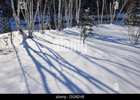 Birch tree shadows on fresh snow Greater Sudbury Ontario Canada - Stock Photo