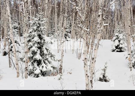 Birch and spruce woodland with fresh snow Greater Sudbury Ontario Canada - Stock Photo