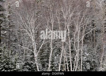 Fresh snow on birch and spruce trees Greater Sudbury Ontario Canada - Stock Photo