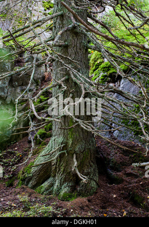 Old spruce trunk and branches - Stock Photo