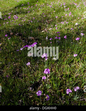 Bird's-eye primrose (Primula farinosa) meadow - Stock Photo