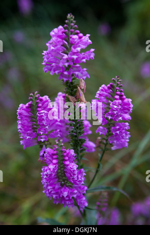 Obedient Plant or False Dragonhead, Physostegia virginiana 'Rosy Spire' - Stock Photo