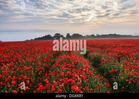 Sunrise over a poppy field at Durweston near Blandford Forum. - Stock Photo