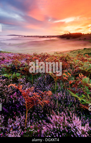 Heather and bracken at sunrise on Rockford Common in the New Forest. - Stock Photo