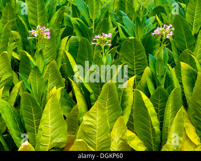 Tobacco leaves beginning to flower. - Stock Photo