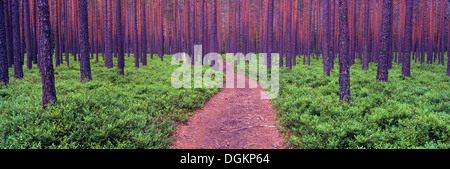 A heavily wooded forest in southern Norway. - Stock Photo