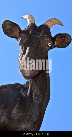 A black goat looking straight at the camera against a blue background. - Stock Photo
