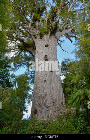 Tane Mahuta, 'Lord of the Forest', the largest living Kauri tree (Agathis australis) of New Zealand, at least 1250 - Stock Photo