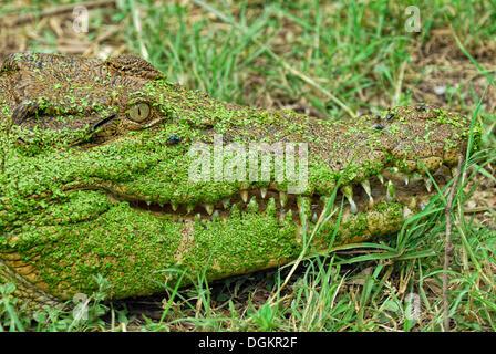 Saltwater crocodile or Estuarine crocodile (Crocodylus porosus), head covered in Duckweed (Lemna minor), Billabong - Stock Photo