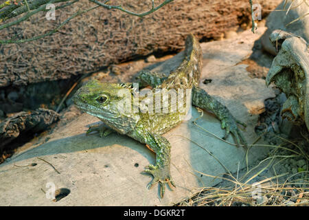 Tuatara (Sphenodon punctatus), endemic, critically endangered species, prehistoric reptile, Willowbank Wildlife - Stock Photo
