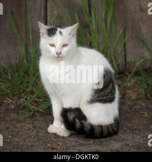 White young tabby cat sitting in front of the wall of a shed - Stock Photo