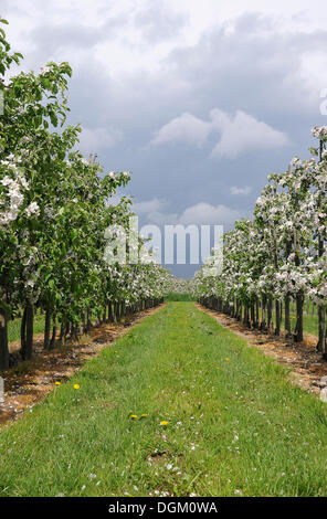 Apple blossom, new fruit plantation, young trees, Altes Land area, fruit-producing region, Jork, Lower Saxony - Stock Photo
