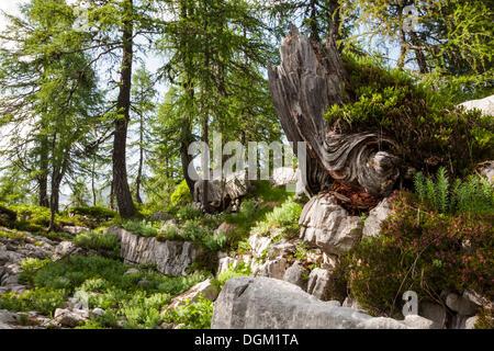 Primeval forest in the Seven Lakes Valley, Triglav National Park, Slovenia, Europe - Stock Photo