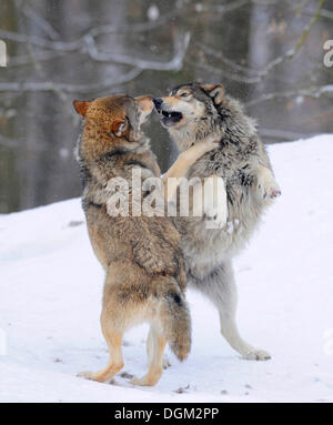 Two wolves fighting about hierarchy, Mackenzie Wolf, Alaskan Tundra Wolf or Canadian Timber Wolf (Canis lupus occidentalis) - Stock Photo
