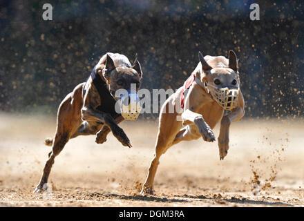 Greyhound racing, greyhounds, Sachsenheim, Baden-Wuerttemberg - Stock Photo