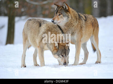 Mackenzie Wolves, Eastern wolf, Canadian wolf (Canis lupus occidentalis) in snow - Stock Photo
