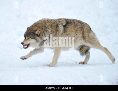 Mackenzie-Wolves, Eastern wolf, Canadian wolf (Canis lupus occidentalis) in snow, omega wolf not accepting its lower - Stock Photo
