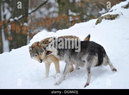 Mackenzie-Wolves, Eastern wolf, Canadian wolf (Canis lupus occidentalis) in snow, fight for social ranking - Stock Photo