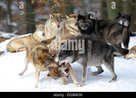 Mackenzie-Wolves, Eastern wolf, Canadian wolf (Canis lupus occidentalis) in snow, fight for social ranking, reprimand - Stock Photo