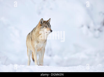 Mackenzie Wolf, Eastern wolf, Canadian wolf (Canis lupus occidentalis) in snow - Stock Photo