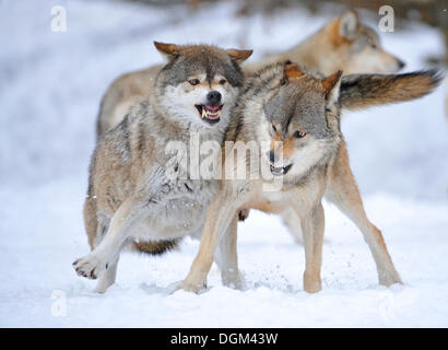 Mackenzie Valley Wolves, Canadian Timber Wolves (Canis lupus occidentalis), in the snow, fight for rank order - Stock Photo