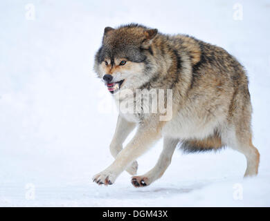 Mackenzie Wolf, Eastern wolf, Canadian wolf (Canis lupus occidentalis) in the snow, omega wolf not accepting lower - Stock Photo