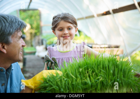On the farm. A glasshouse. Trays of fresh green herbs. An adult and a child tending to the plants. A man and a young - Stock Photo