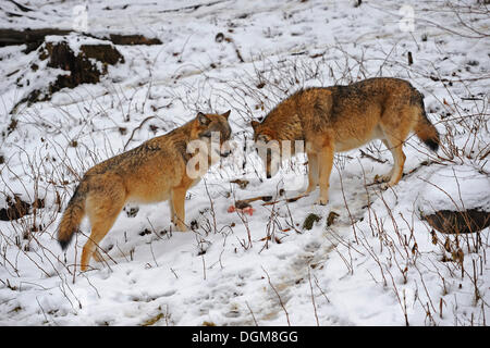 Wolves (Canis lupus), fighting over the remains of the prey - Stock Photo