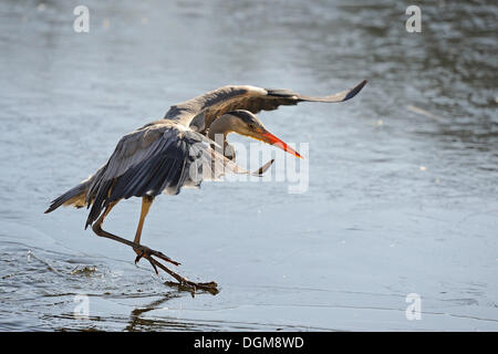 Grey Heron (Ardea cinerea) landing on the thin ice of a lake - Stock Photo