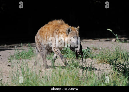 Spotted or laughing hyena (Crocuta crocuta), mother carrying a newborn cub - Stock Photo