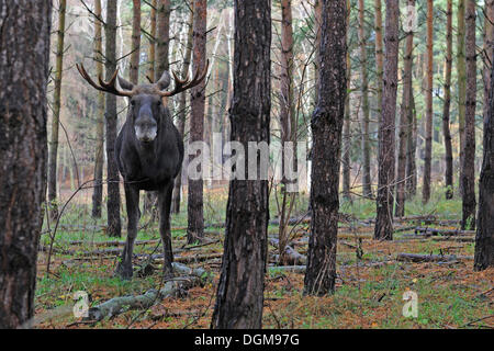 European elk, moose (Alces alces) standing in its natural environment - Stock Photo