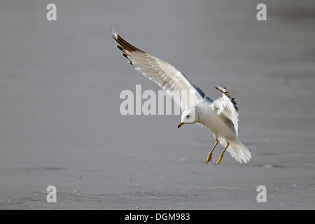 Common gull (Larus canus), about to land - Stock Photo