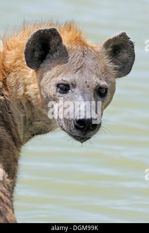 Spotted hyena (Crocuta crocuta), adult in the water, Maasai Mara National Reserve, Kenya, Africa - Stock Photo