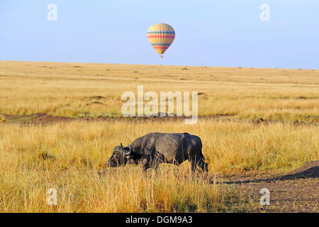 African Buffalo or Cape buffalo (Syncerus caffer) in the early morning standing in the tall grass, in front of a - Stock Photo