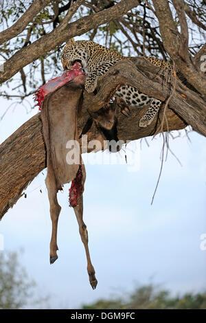 Leopard (Panthera pardus) feeding on captured Blue or Common wildebeest (Connochaetes taurinus), on a tree, Masai - Stock Photo