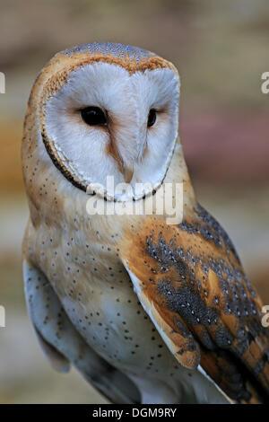 Barn Owl (Tyto alba), portrait, Hesse - Stock Photo