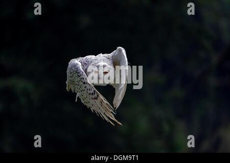 Snowy Owl (Bubo scandiacus, Nyctea scandiaca) in flight, Hesse - Stock Photo
