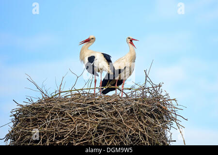 White Storks (Ciconia ciconia), perched on nest, stork village of Linum, Brandenburg, PublicGround - Stock Photo