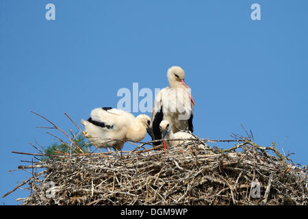 White Stork (Ciconia ciconia), adult with two chicks in the nest, stork village of Linum, Fehrbellin, Brandenburg, - Stock Photo