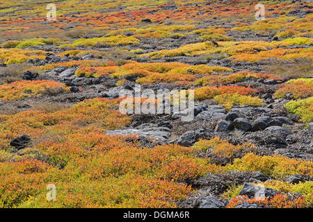 Carpet of Galapagos Shoreline Purslane or Sea Purslane (Sesuvium portulacastrum), Island of Plaza Sur, Galapagos - Stock Photo