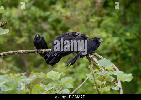 Smooth-billed Ani (Crotophaga ani), Santa Cruz Island, Galapagos, Ecuador, South America - Stock Photo