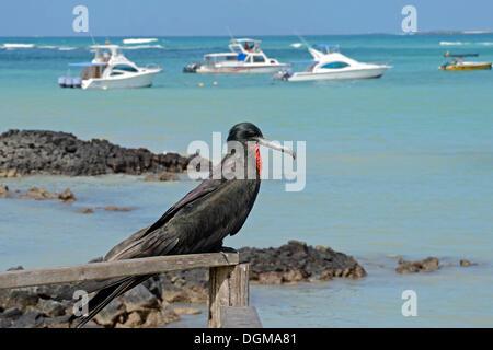 Magnificent Frigatebird (Fregata magnificens) in the fishing port of Puerto Ayora, Santa Cruz Island, Indefatigable - Stock Photo