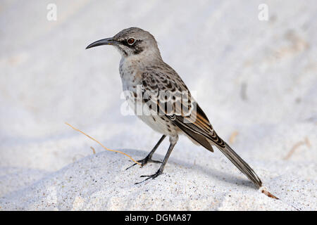 Hood-Mockingbird (Nesomimus parvulus macdonaldi), subspecies from Espanola Island, Galapagos, UNESCO World Heritage - Stock Photo